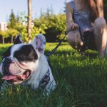 Image of Black and White French Bulldog Lying on Green Grass